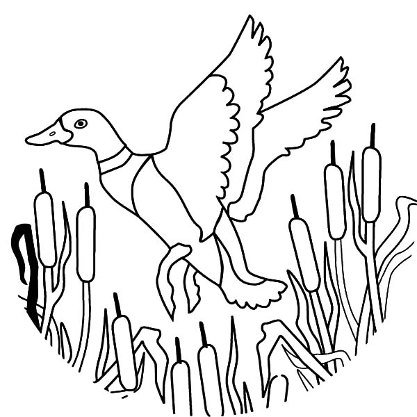 Mallard Duck, : How to Draw Flying Mallard Duck Coloring Pages