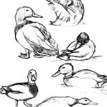 Mallard Duck, How To Draw Mallard Duck Coloring Pages: How to Draw Mallard Duck Coloring Pages