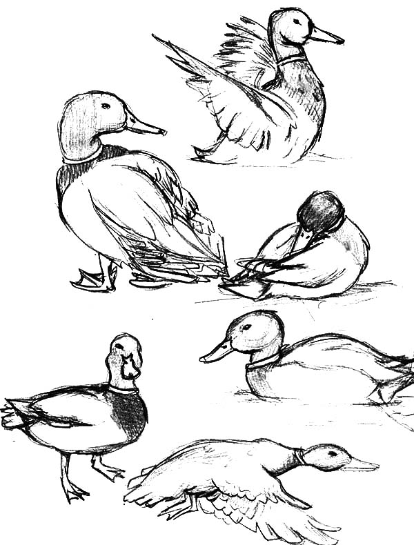 Mallard Duck, : How to Draw Mallard Duck Coloring Pages