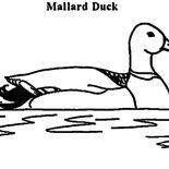 Mallard Duck, M Is For Mallard Duck Coloring Pages: M is for Mallard Duck Coloring Pages