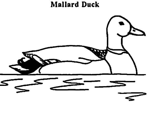 Mallard Duck, : M is for Mallard Duck Coloring Pages
