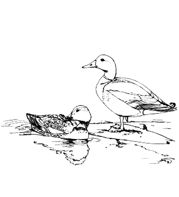 Mallard Duck, : Mallard Duck Couple Mating Coloring Pages
