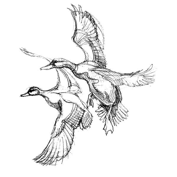 Mallard Duck, Mallard Duck Couple Sketch Coloring Pages: Mallard Duck Couple Sketch Coloring Pages