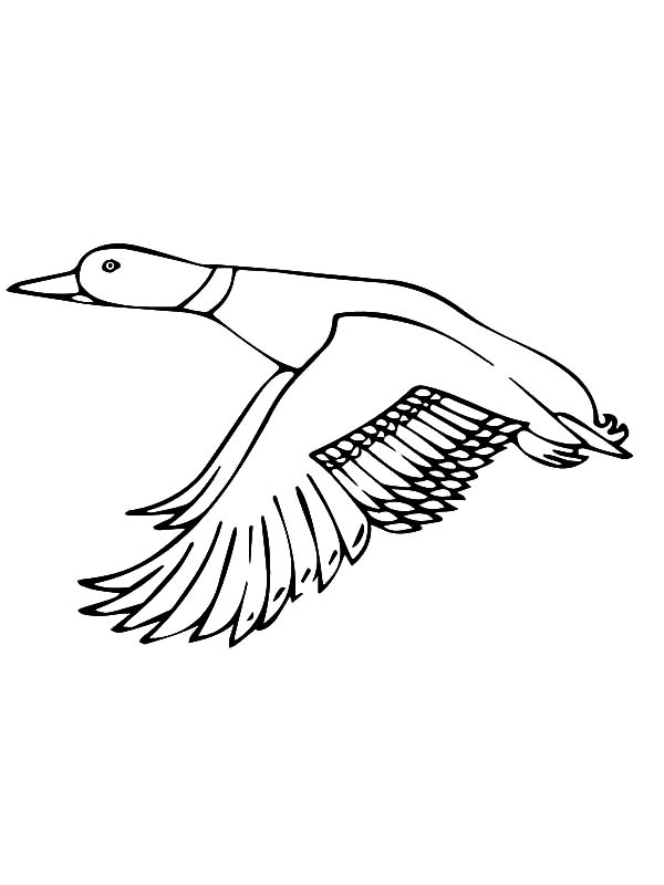 Mallard Duck, : Mallard Duck Flapping Her Wings Coloring Pages