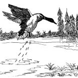 Mallard Duck, Mallard Duck Jumping From Lake Coloring Pages: Mallard Duck Jumping from Lake Coloring Pages