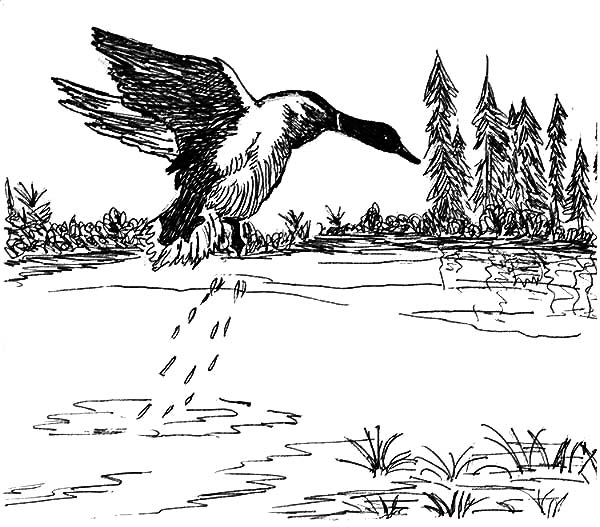 Mallard Duck, : Mallard Duck Jumping from Lake Coloring Pages