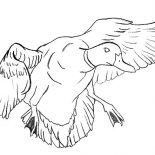 Mallard Duck, Mallard Duck Near To Landing Coloring Pages: Mallard Duck Near to Landing Coloring Pages