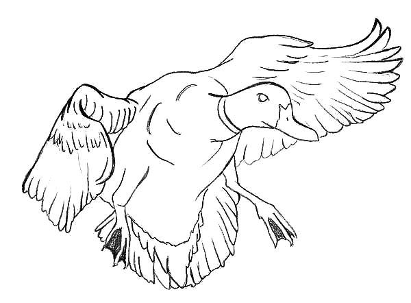 Mallard Duck, : Mallard Duck Near to Landing Coloring Pages