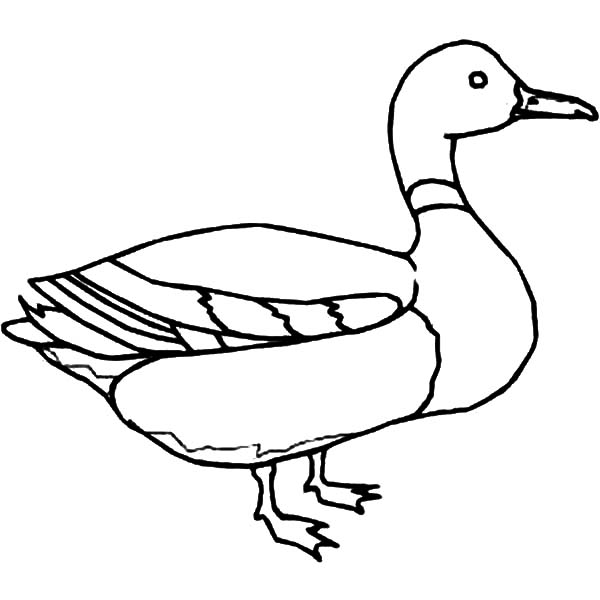 Mallard Duck, : Mallard Duck Outline Coloring Pages
