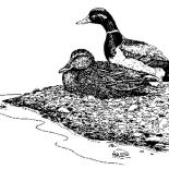 Mallard Duck, Mallard Duck Sitting By Riverside Coloring Pages: Mallard Duck Sitting by Riverside Coloring Pages