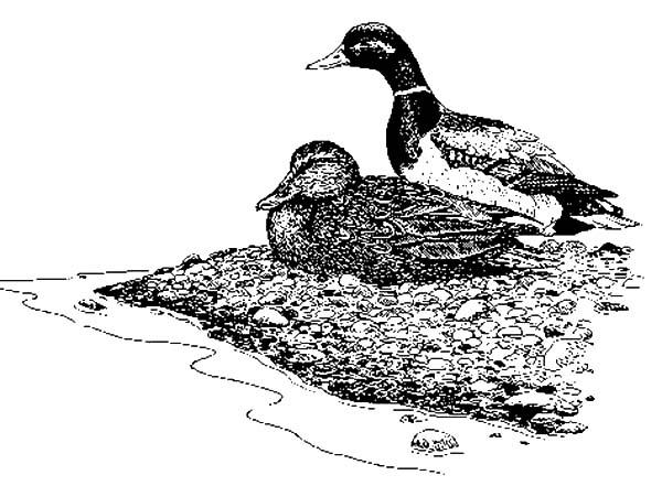 Mallard Duck, : Mallard Duck Sitting by Riverside Coloring Pages