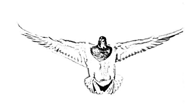 Mallard Duck, : Mallard Duck Spread Her Wings Wide Coloring Pages