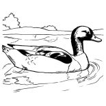 Mallard Duck, Mallard Duck Swimming Coloring Pages: Mallard Duck Swimming Coloring Pages