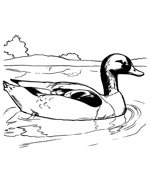 mallard ducks coloring pages - photo#9