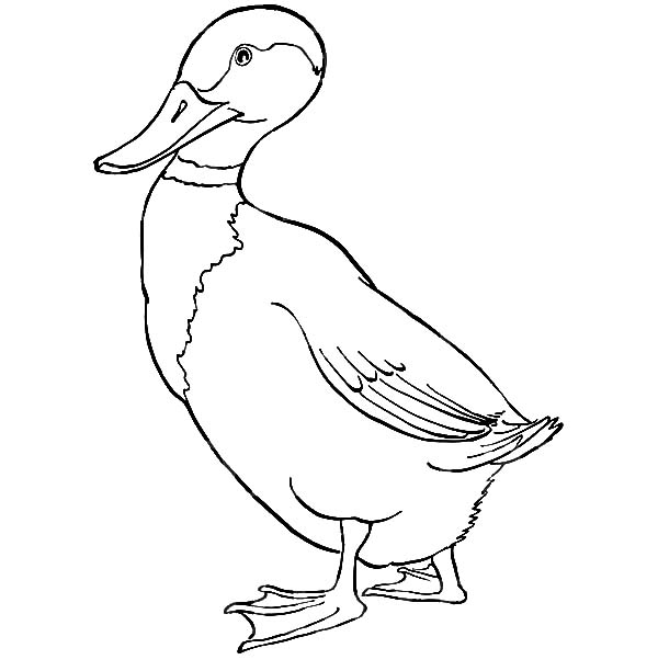 Mallard Duck, : Mallard Duck Walking Forward Coloring Pages