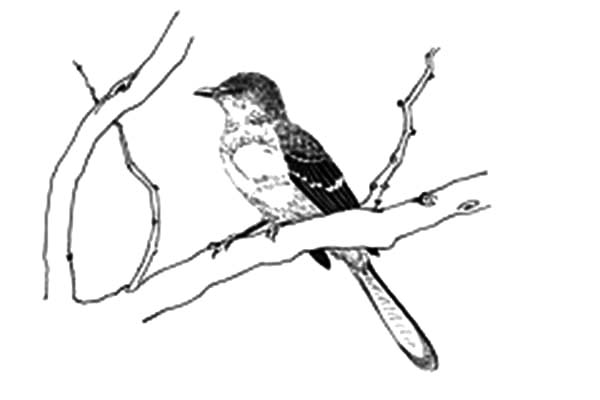 Mockingbird, : Mockingbird Coloring Pages