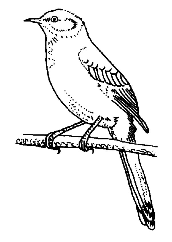Mockingbird, : Mockingbird Perch on Tree Branch Coloring Pages
