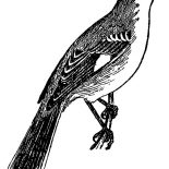 Mockingbird, Mockingbird Sketch Coloring Pages: Mockingbird Sketch Coloring Pages