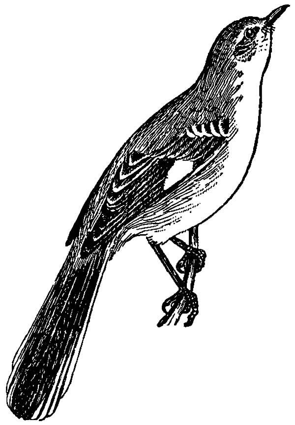 Mockingbird, : Mockingbird Sketch Coloring Pages