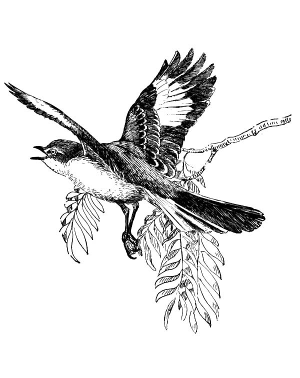 Mockingbird, : Mockingbird Spread His Wing Coloring Pages