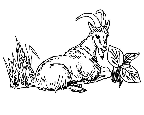 Mountain Goat, : Mountain Goat Eating Grass Coloring Pages