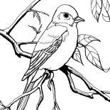 Mockingbird, Patagonian Mockingbird Coloring Pages: Patagonian Mockingbird Coloring Pages