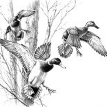"Mallard Duck, ""Incoming Trio Mallards"" Original Pencil Drawing By David Maass. Coloring Page:"