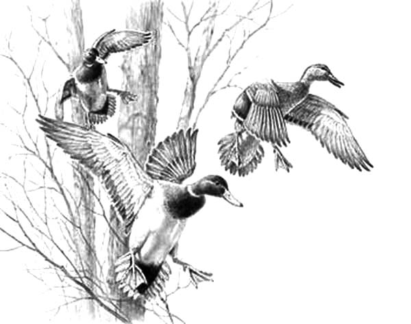 u201cincoming trio mallards u201d original pencil drawing by david