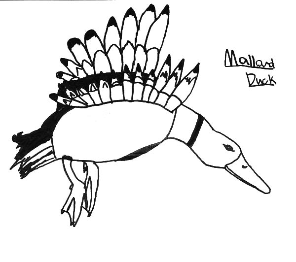 Mallard Duck, : Preschool Kid Drawing Mallard Duck Coloring Pages