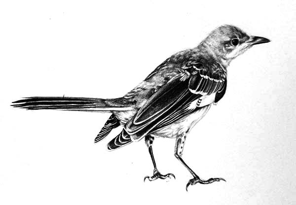 Mockingbird, : Realistic Mockingbird Drawing Coloring Pages