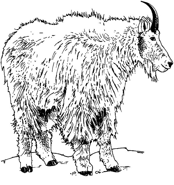 Mountain Goat, : Rocky Mountain Goat Coloring Pages