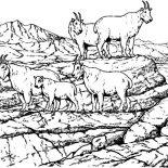 Mountain Goat, School Of Mountain Goat Coloring Pages: School of Mountain Goat Coloring Pages