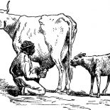 Milking Cow, Sketch Farmer Milking Cow Coloring Pages: Sketch Farmer Milking Cow Coloring Pages