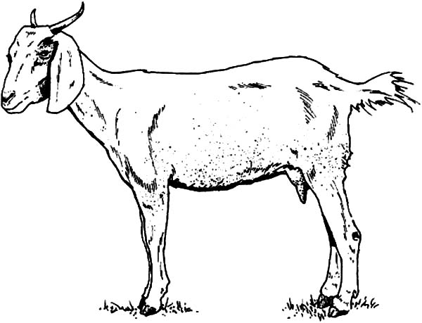 Goat, Skinny Goat Coloring Pages: Skinny Goat Coloring Pages