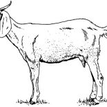 Mountain Goat, Thin Mountain Goat Coloring Pages: Thin Mountain Goat Coloring Pages
