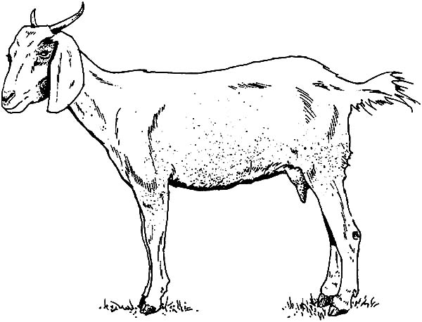 Mountain Goat, : Thin Mountain Goat Coloring Pages