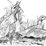 Mallard Duck, Wild Mallard Duck Coloring Pages: Wild Mallard Duck Coloring Pages